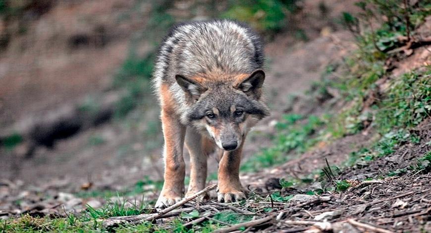 «Οι Λύκοι, λένε οι κάτοικοι της περιοχής, πώς κάνουν τεράστιες ζημιές. Έχει αυξηθεί ο πληθυσμός τους και παράλληλα έχει μειωθεί το θήραμα του αγρίου»